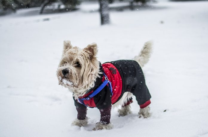 How to Tell if Your Dog is Cold